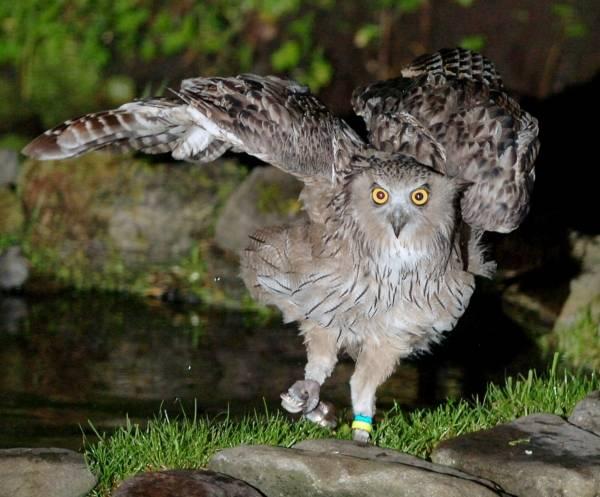 夜行の猛禽、フクロウ 写真特集