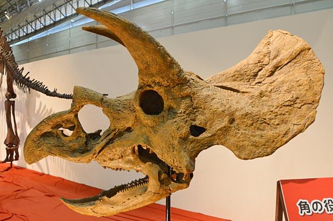 白亜紀後期に北米に生息していたとされる草食恐竜「トリケラトプス」の頭骨。頭部に生えた角を武器に、肉食恐竜ティラノサウル…