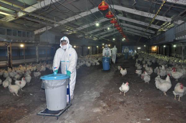 宮崎で鳥インフルエンザ 写真特集