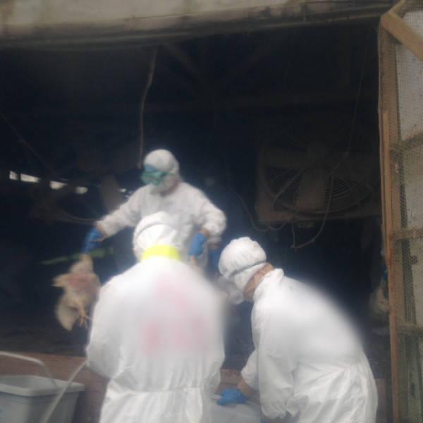 熊本で鳥インフルエンザ 写真特集