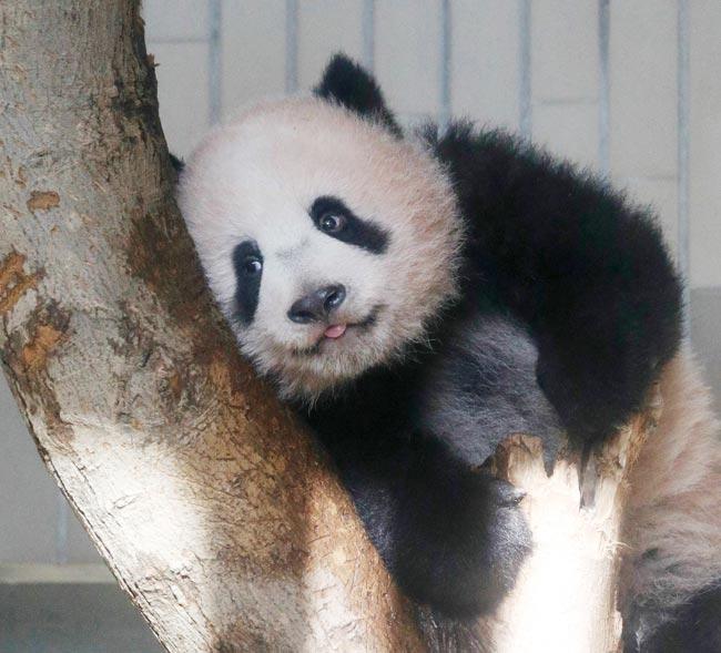 報道公開されたジャイアントパンダのシャンシャン(香香)=東京都台東区の上野動物園