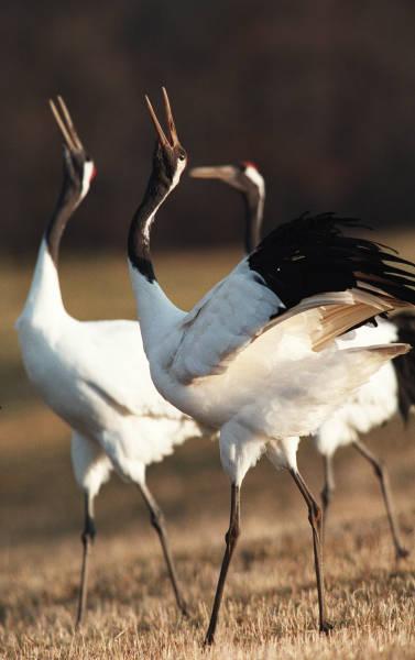 ツル、ハクチョウ 美しき冬鳥 写真特集